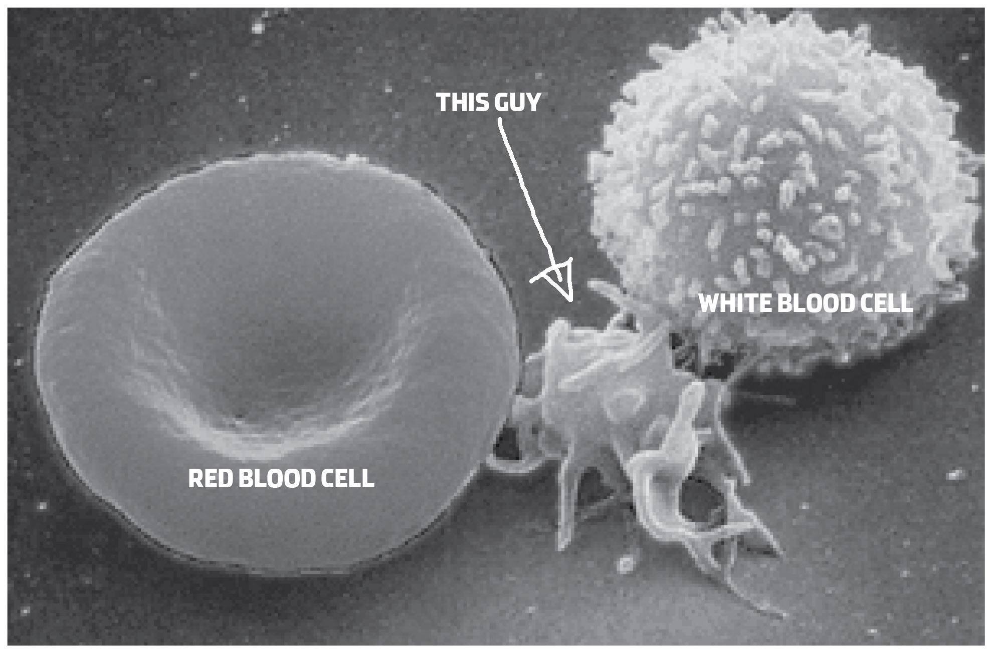 What Are Platelets And Why Do We Need Them Blood White Cell Diagram For Kids Cells Red First They